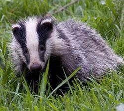 News_badger